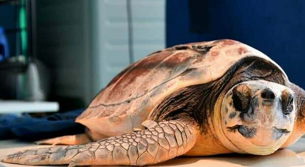 La tartaruga era rimasta ferita da un'elica: l'operazione effettuata in un ambulatorio veterinario di Spresiano