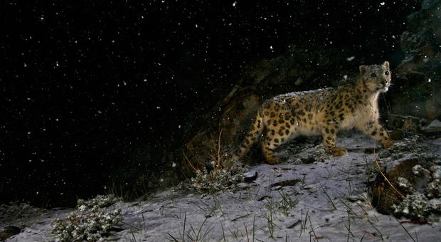 Cina, tre leopardi fuggono dallo zoo: l'allarme viene dato una settimana dopo
