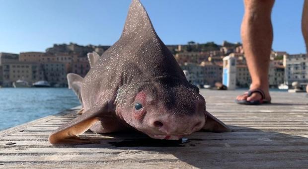Isola d'Elba, trovato un raro esemplare di «pesce porco»: le immagini sono subito diventate virali