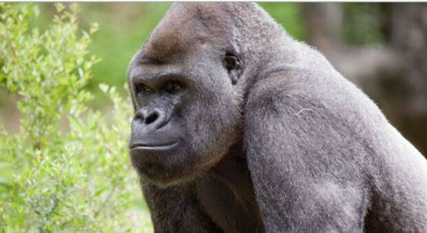 Covid, contagiati 13 gorilla dello zoo di Atlanta