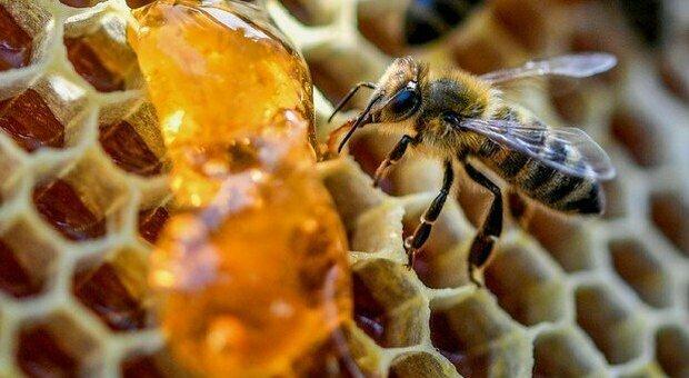 Miele, anche le api senza scorte per l'inverno