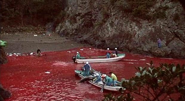 Delfini, si apre la caccia e in Giappone è allarme: «A rischio 2mila esemplari»