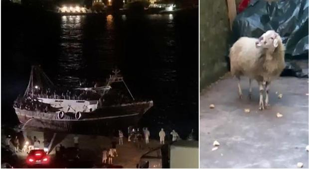 Pecora sbarca con 13 migranti tunisini a Lampedusa: sarà messa in quarantena