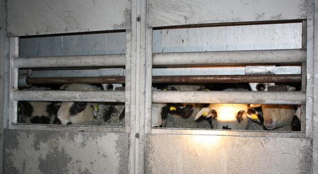 Gli agnellini stipati nel camion fermato in A34 a Villesse, in Friuli