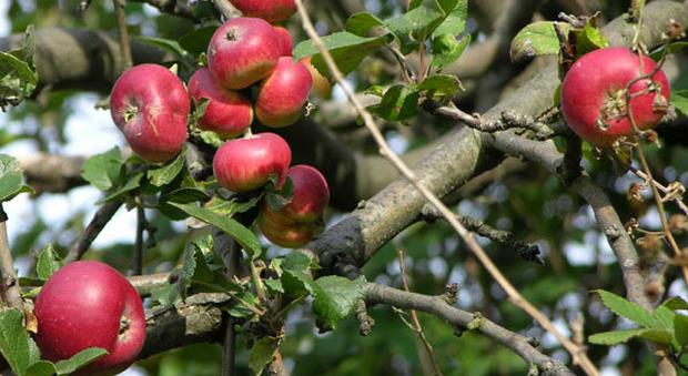 Piante Da Frutto Antiche : Piante da frutto antiche un corso insegna come