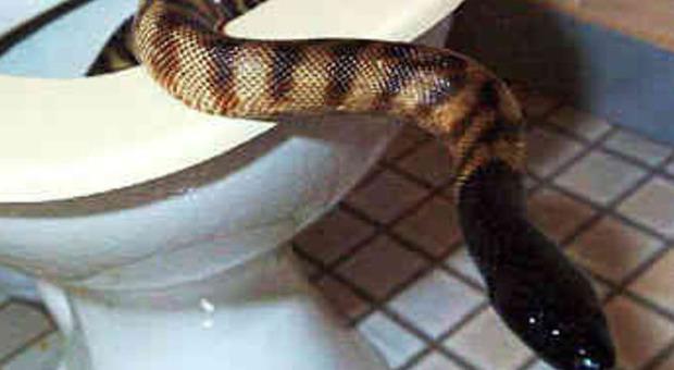 Serpente di 2 metri sale dal water a singapore e morde una donna - Non riesco ad andare in bagno ...
