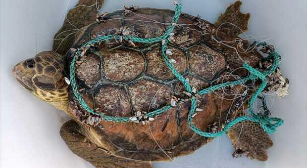 La tartaruga marina salvata dell'allarme lanciato dai bambini. (Immag diffusa da RadioLuna)