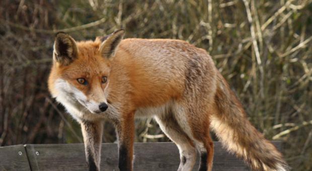 Cucciolo di volpe utilizzato come esca per catturare la madre muore in gabbia: denunciati i presunti autori del maltrattamento