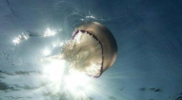 Cina, trovate medusa fossile vivente d'acqua dolce: una specie in pericolo vecchia di oltre mezzo miliardo anni