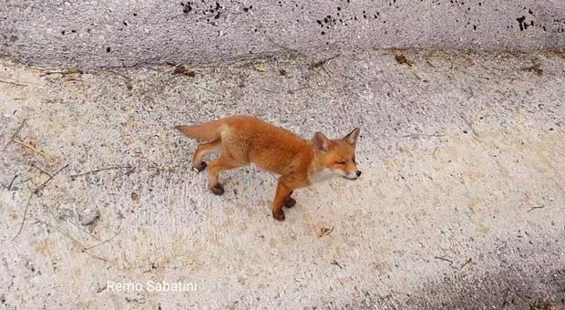 Un cucciolo di volpe di pochi mesi. (Foto repertorio Remo Sabatini)