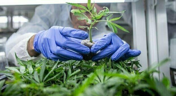 Manovra, cannabis light: blitz M5S per la liberalizzazione