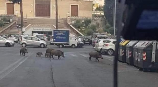Cinghiali sulle strisce pedonali a Roma, Calenda posta la foto: «A settembre chiederanno il bonus asili»