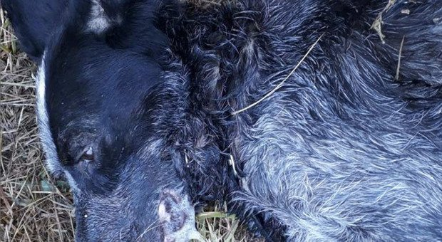 Guerra tra tartufai in Ciociaria, tre cani avvelenati in pochi giorni: indaga la Procura