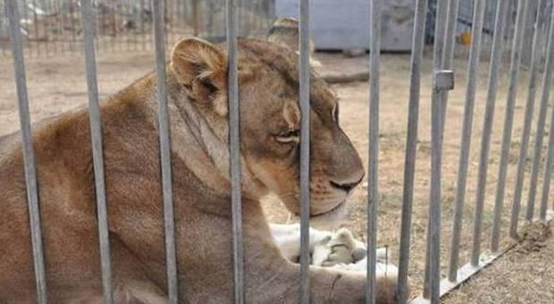 Il circo degli orrori leoni zebre e orsi all 39 inferno for I gatti mangiano le tartarughe