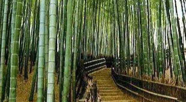 Ma lo sapete che c 39 una foresta di 40 ettari di bamb in for Bamboo coltivazione