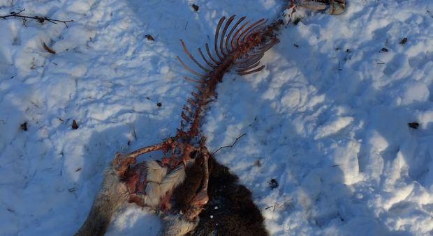 Altopiano di Asiago, animali spolpati dai lupi