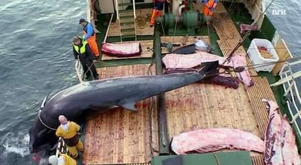 Una baleniera norvegese a caccia (immag diffusa sui social dall'associazione ambientalista C'est Assez)