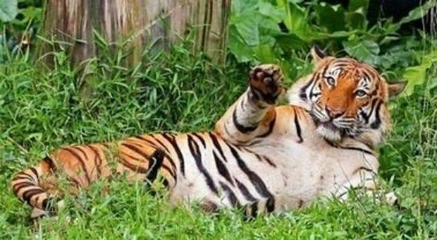 Allo zoo di San Diego è corsa per vaccinare tigri e ghepardi