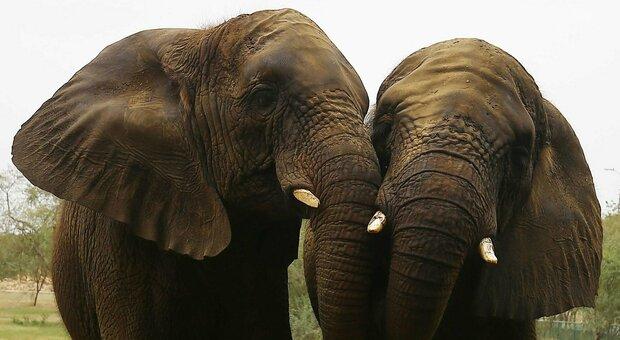 Elefanti, vietato guidarli in stato di ebbrezza: la nuova legge dello Sri Lanka