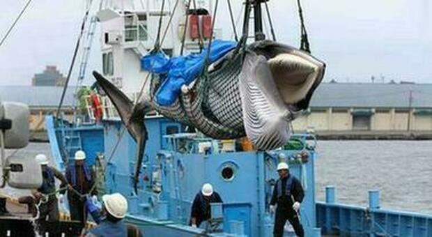 Vomito di balena, tornati alla luce 30 chili di 'ambra grigia': valore 1 milione di euro