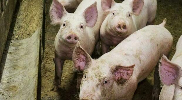 La California rischia di restare senza bacon: una nuova legge animalista mette a rischio la produzione suina