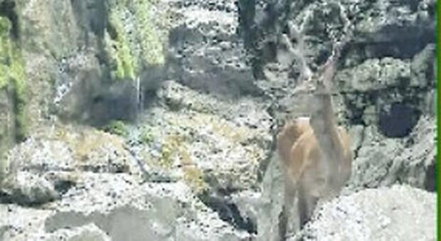 """Cervo bloccato in forra in zona protetta: """"vietati"""" i soccorsi, è morto di stenti"""