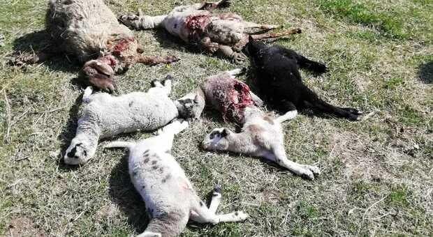 Pecore uccise dal lupo