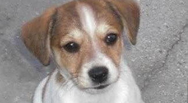 Arrivano 20 cuccioli di Beagle. Blitz degli animalisti al centro sperimentale Aptuit di Verona