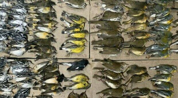 New York, centinaia di uccelli migratori sono morti schiantandosi contro i grattacieli