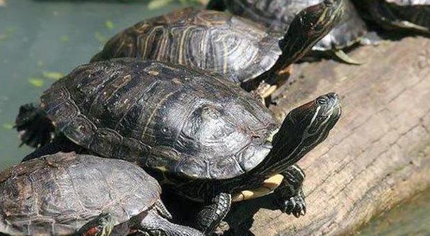 Rubate le tartarughe nel parco prese dai cinesi per for Tutto per le tartarughe