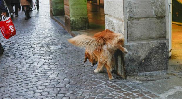 Un cane che fa i suoi bisogni in centro a Treviso