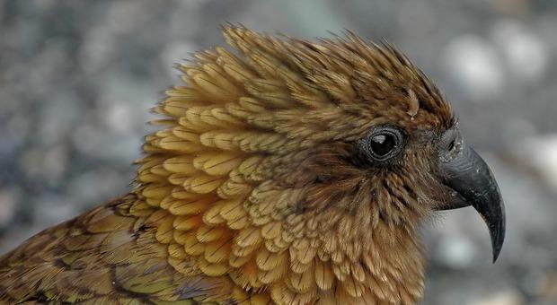 Nuova Zelanda, fuga dei pappagalli alpini verso le montagne: tra le cause principali l'uomo e i cambiamenti climatici