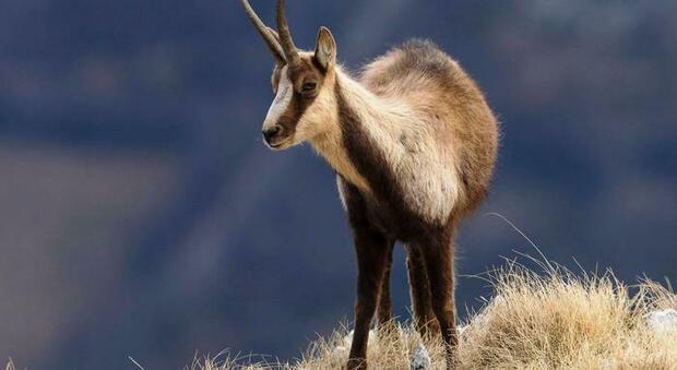 Pescara, camoscio Maiella a congresso mondiale salute fauna selvatica: contributo ricercatori del Parco e dell'Università di Teramo