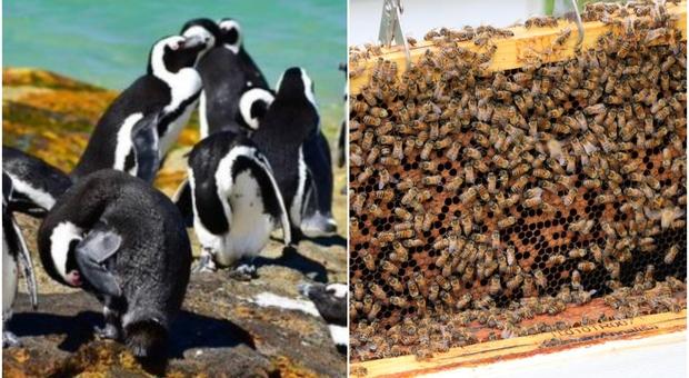 Sciame di api attacca e uccide 63 pinguini in via d'estinzione in Sudafrica