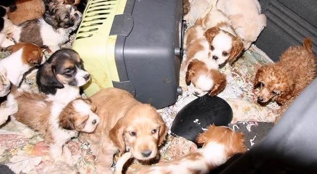 Traffico Illecito Di Cuccioli Di Cane Blitz Della Stradale Sei Arresti