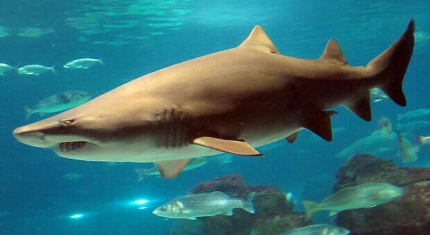 Squali, un terzo delle specie a rischio per la pesca: «Minacciate anche da perdita habitat e crisi climatica»