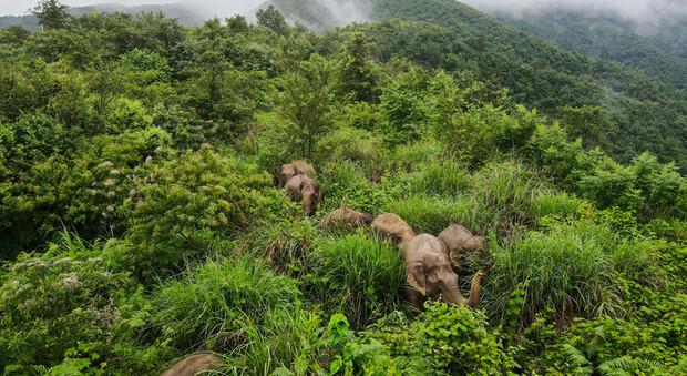 """Cina, arrivano le """"mense"""" per gli elefanti: lo scopo è evitare che i pachidermi vaghino all'interno dei villaggi"""