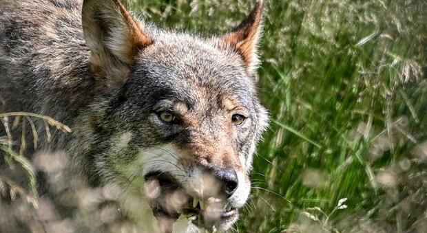 Toscana, positiva la carcassa di un lupo alla trichinella: è un parassita che può essere trasmesso alle persone