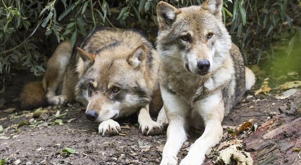 Strage di lupi in Veneto (Foto di Rain Carnation da Pixabay)