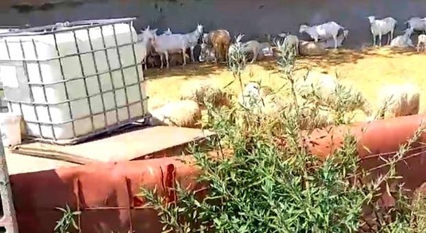 Pecore e agnelli in attesa di essere macellati, nei giorni scorsi, in una struttura rodigina