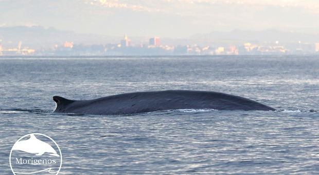 Avvistate due bellissime balenottere giganti nel Golfo di Trieste