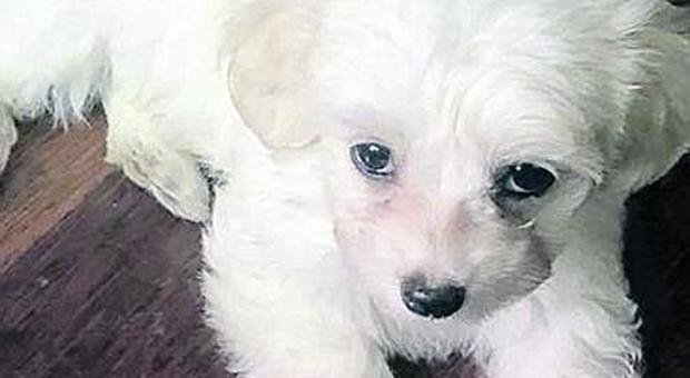 Ladri Entrano In Casa E Rubano Uno Splendido Cucciolo Di Maltese
