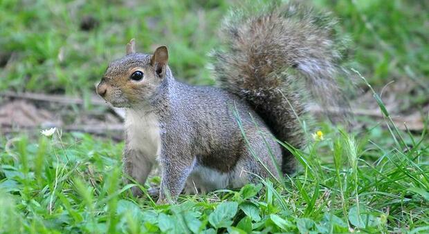 Uno scoiattolo grigio nordamericano (immag repertorio Ansa)