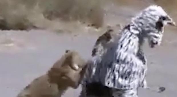 Due giovani si travestono da Zebra e vengono attaccati dai Leoni -VIDEO-