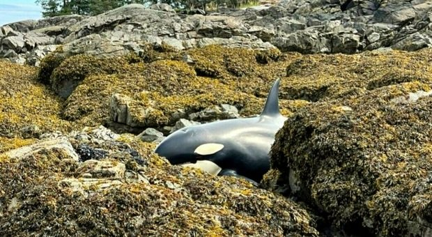 L'orca spiaggiata a centinaia di metri dal mare. (Immagini pubbl da Tara Neilson su Twitter)