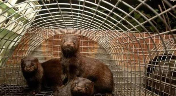 Attacco animalista all'allevamento di visoni: quinto assalto in tre anni