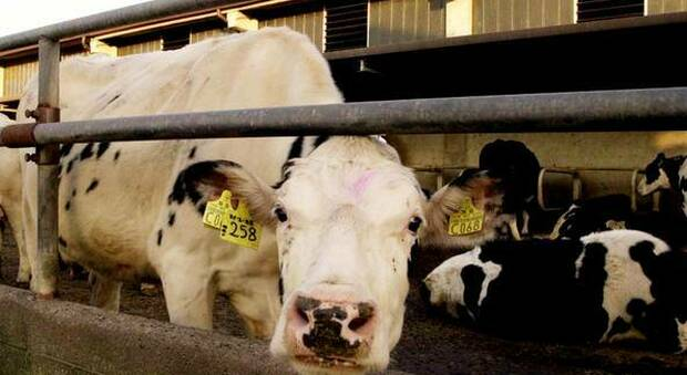 Mucca pazza, due casi atipici: sospesa l'esportazione di carne bovina
