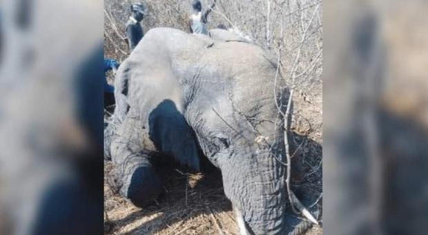 L'elefante giustiziato per colpa di un selfie (immag diffuse da PETA sui social)