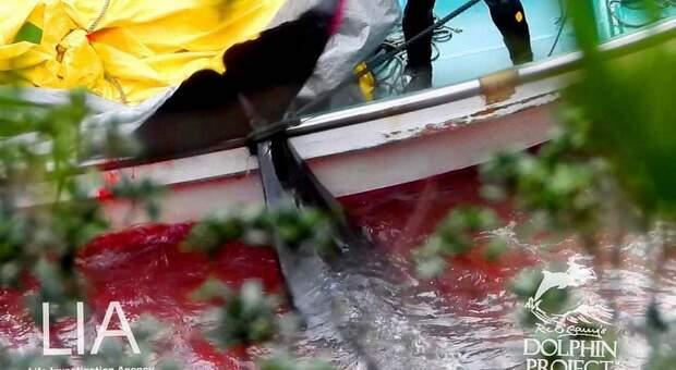 Una delle vittime di ieri a Taiji. (Immagini diffuse da Dolphin Project su Fb)