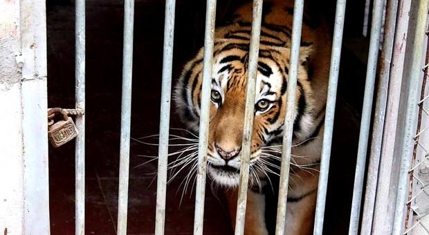 Una tigre in gabbia (immag diffusa su fb dalla ong Education for Nature-Vietnam)